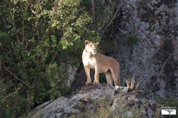 serengeti-leonessa