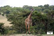 safari-ngorongoro