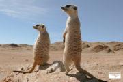 tour-safari-namibia-suricati
