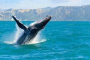 nuova-zelanda-fly&drive-whale-watching