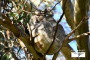 koala-australia-kangaroo-island