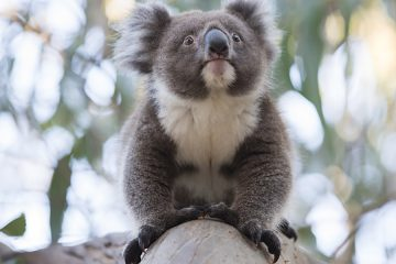 tour-voyager-koala