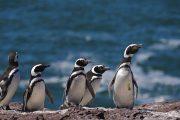 pinguini-penisola-valdes